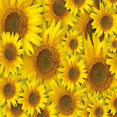 Yellow Sunflowers Photo Art on a Ceramic Tile. Either on a 4x4 or 6x6 Tile. Home Decor for Art Accent Gifts. Decorative Tile Art $13.99