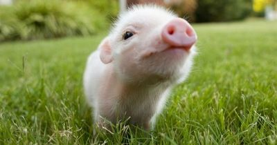 Google Image Result for http://cutestlife.com/wp-content/uploads/2011/03/tiny pig nose-600x4381.jpg