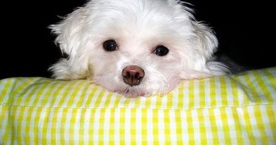 How cute is Charlie (Maltese Dog) doggies