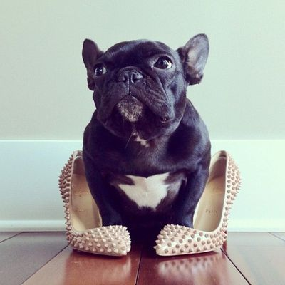 do I look pretty? Trotter The Hipster French Bulldog Probably Has More Instagram Followers Than You (PHOTOS)