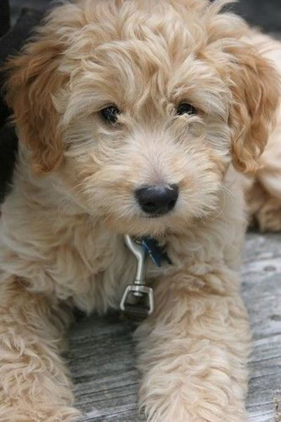 Miniature Goldendoodle... I want one...