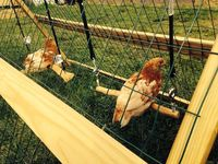 Homemade Chicken Swing. It's silly, but I'd still like to make a few for our chickens.
