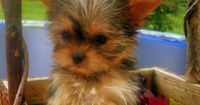 Adorable Shih Tzu/Yorkie Mix Puppies!! I want this dog!!!