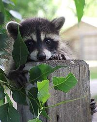 Hi. I know. I'm cute. - I like racoons yet the ones in my area have no fear....so I keep my distance. They come right up to the sliding glass door and look into my kitchen!!!!