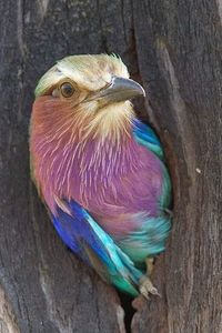 Lilac Breasted Roller. Roller in a hole.! HAVE YOU EVER BEEN IN A HOLE?