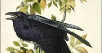 Raven by John James Audubon