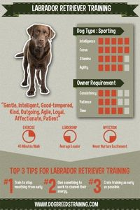 Labrador retriever training infographic and stat