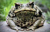 This picture depicts a Cane Toad, originally from Central America then later introduced in Australia. These Toads are invasive and eat food that could be going to the native species, they have no natural predators so their population runs rampant.