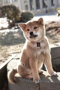 """hachi.jpg (but he is Shibainu here) If you haven't seen the movie """"Hachi"""". With Richard Geer it's a must"""