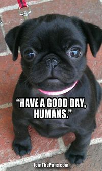 Join The Pugs Has The Cutest Pics |Pugfanatic.com