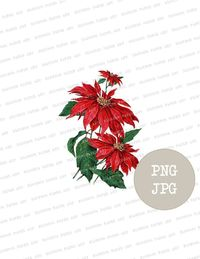 Christmas Poinsettia Clipart, Christmas Digital PNG, Instant Download Vintage Christmas Graphic, Digital Download, PNG Christmas