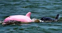 Pink Dolphin October 2012 -According to NOAA, there have only been 14 recorded sightings of albino Bottlenose Dolphins throughout the world, since the first reported sighting in 1962.