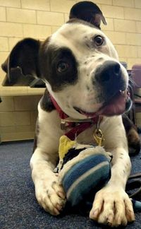 Meet Bruno, an adoptable Pit Bull Terrier looking for a forever home. If you're looking for a new pet to adopt or want information on how to get involved with a