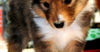 Since Mikey's death last year, this is the first time in 15 years that we've had only one Sheltie in our home. I'm looking long and hard at these puppies -- I'm thinking it may be time. :)