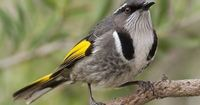 the crescent honeyeater (phylidoyris pyrrhopterus) is a passerine bird, of the honeyeater family meliphagidae, native to southeastern australia. from emuwren