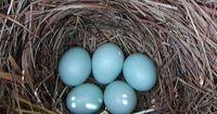 A handy table that will help you identify the birds that leave eggs in your nest boxes.