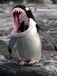 penguin and killer whale mixed together