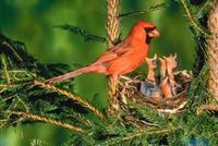 Northern Cardinal male with chicks: Male and female cardinals take care of their young while they remain in the nest. Once the young birds are out of the nest and can fly, the male will guard them for approximately three weeks. During this time the female...