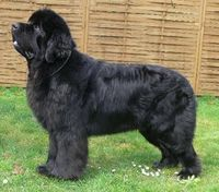 newfoundland, dog breeds and dogs.