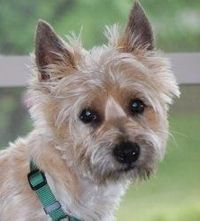'DAKOTA'-Milwaukee is an adoptable Cairn Terrier Dog in Chicago, IL. 'Kota' is located in a private foster home in New Berlin WI. To adopt him, you must first fill out our Adoption Application . To l...