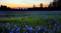 Blue flowers field wallpaper