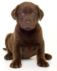 Chocolate Labrador....my hubby's breed of choice so naturally we have one...Violet is her name but we call her Choco-Taco