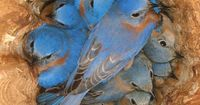 Bluebirds Roosting At Night