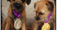 Andy Murray's Border Terriers wearing his gold and silver medals.