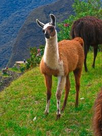Llama from the ancient Inca site of Machu Picchu, Peru