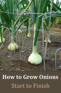 Alternative Gardning: How to Grow Onions - From Start to Finish