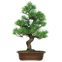 Japanese Black Pine is considered the King of pines in bonsai. This specimen tree shows what a mature specimen with many years of branch and foliage training can achieve. This variety also has bark that is extremely rough and textured. This is an outstand...