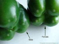 I never knew this! Flip the bell peppers over to check their gender. The ones with four bumps are female and those with three bumps are male. The female peppers are full of seeds, but sweeter and better for eating raw and the males are better for cooking....