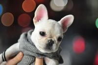 I fantasize that my dream man will surprise me with a white French bulldog puppy just like this one, and that's how I'll know he's the one