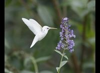 An extremely rare albino ruby-throated hummingbird. Click through for more pics!