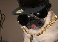 Funny Pug | Funny pictures Gangsta Pug 6679