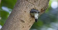 Carpintero. Red- crowned Woodpecker. Melanerpes rubricapillus. MG 9000 | Flickr - Photo Sharing!