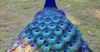 400 PX: Peacock Night / shades of blue and purple