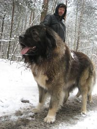 The Caucasian Mountain Dog was developed in medieval Russia for guarding livestock. It is a powerful, robust breed, popular at Russian dog shows. Its temperament remains cautious with strangers & difficult to obedience train. It is not recommended wit...