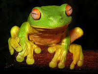 The Australian red-eyed tree frog (Litoria chloris, pictured) produces peptides that poke holes in the HIV virus, causing it to fall apart. It can literally wash the HIV from an infected cell.