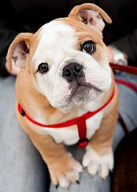 I cannot wait to get my sweet baby bulldog in May!