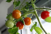 Tips to Grow Food Indoors With LED Grow Lights - growing food indoors has many benefits, which include the ability to grow plants all winter and the chance to grow a larger number of plants in a small space.
