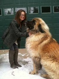 MeetSimba. He's a Leonberger. Fun fact: After the second world war, there were only 8 of these in the entire world. Every single Leonberger today can be traced back to these.