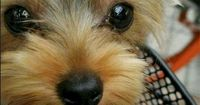 The Yorkshire terrier originated in Scotland as the Waterside terrier but acquired its current name after being brought by immigrants to the area of Yorkshire,