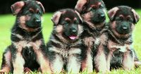 Big adorable fluffy German Shepherd puppies! I will also have one of these!