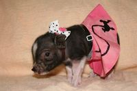 Teacup Pig- OMG I love this little pig too. I want them all<3