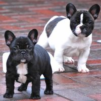 Thispostwas discovered by Katie Frampton. Discover (and save!) your own Pins on Pinterest. | See more about french bulldog puppies, brother sister and bulldog puppies.