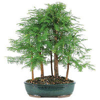 Dawn Redwoods were thought to be totally extinct until they were discovered at a temple in China in early 20th century. These trees have beautiful feather-like foliage and a formal, upright style which is visually powerful and majestic. Thrives outdoors a...