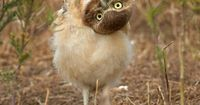 A photographer covertly taking pictures of a group of owls thought he'd managed to avoid their detection - until one of the chicks turned its head upside down a