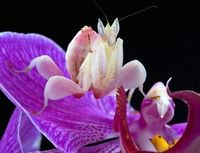 The orchid mantis (Hymenopus coronatus) is a mantis species in the rain forests of Southeast Asia