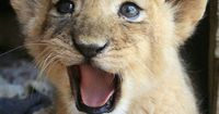 It looks like he just told a joke and is waiting for everyone to get it lol baby lion